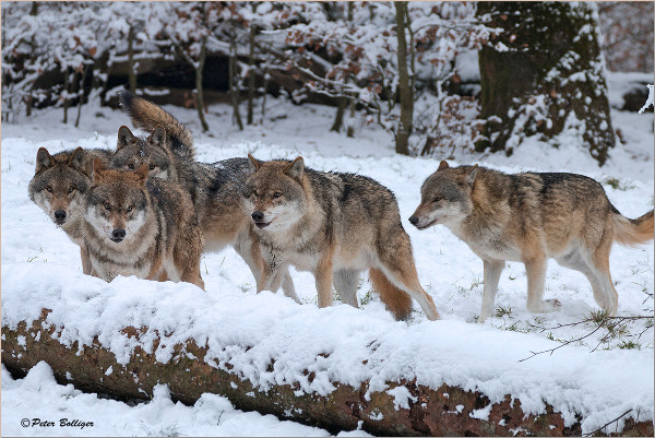5 wolves on snow covered land